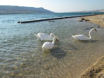 Swans on the beach. Swans, Birds, beauty, beach, nature Royalty Free Stock Photography
