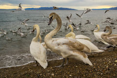 Swans at Beach Stock Photo