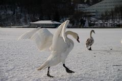 Swans on the beach covered in snow Stock Photo