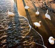 Swans on the beach at the edge of the surf beach of Sopot at dawn Royalty Free Stock Photography