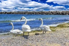 Swans on the beach. Swans on the shore of the sea clear day Stock Photo