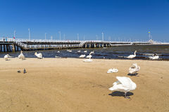Swans on the beach in Sopot Stock Images