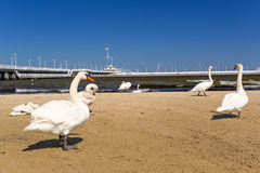 Swans on the beach in Sopot Stock Photo