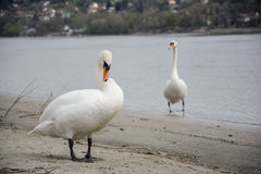Swans on the beach Royalty Free Stock Image