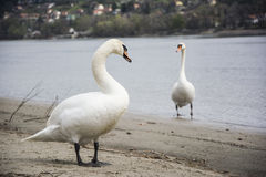 Swans on the beach Royalty Free Stock Images