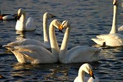 Swans. Beak white feathers lake swan RSPB wetlands wildfowl decoy heart friends love graceful Stock Image