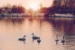 Swans in beams sunset Stock Images