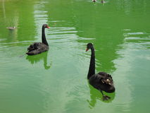Swans. Beautiful black swans swimming in a pond Royalty Free Stock Image