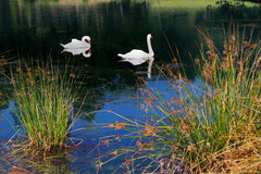 Swans in the beautiful pond Royalty Free Stock Photos