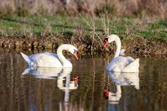 swans immagini stock