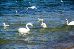 Swans and birds Royalty Free Stock Image