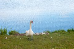 Swans are birds of the family Anatidae within genus Cygnus. The swans close relatives include geese and ducks. Swans with closely royalty free stock photo