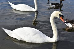 Swan - Hyde Park. Swans are birds of the family Anatidae within the genus Cygnus. The swans` close relatives include the geese and ducks. Swans are grouped with Royalty Free Stock Image