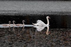 Swan and chicks on the lake. stock image