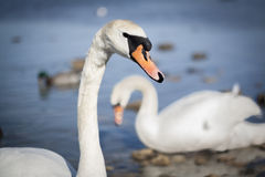 Swans. And birds on the swa Stock Images