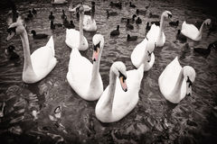 Swans in black and white Stock Photography