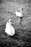 Swans - black white Stock Photos