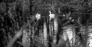 Swans Black and White. A pair of swans in Black and White Stock Photography