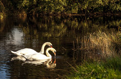Swans Black and White. A pair of swans on the river Stock Image