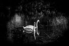 Swans in Black and White. A pair of swans swimming on the river in black and white Royalty Free Stock Photography