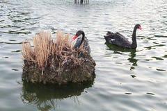 Swans blacks Royalty Free Stock Photos