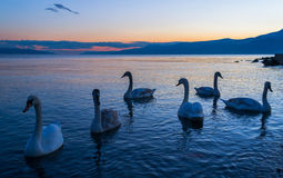 Swans at blue Hour Royalty Free Stock Photos