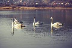 Swans Royalty Free Stock Photos