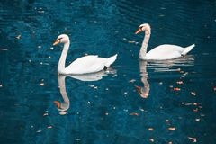 Swans on blue water royalty free stock images