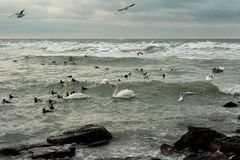 Swans Braving Icy Winter Ocean. Royalty Free Stock Photos