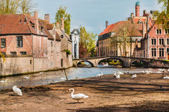 Swans in Bruges Royalty Free Stock Image