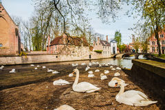 Swans in Bruges Royalty Free Stock Photography