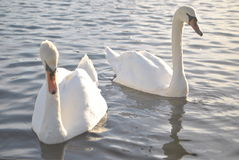 Swans, Canoe Lake in Portsmouth Royalty Free Stock Photos