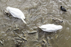 Swans and carps Royalty Free Stock Photography