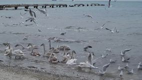 Swans in the Caspian Sea. stock video