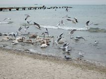 Swans in the Caspian Sea. The month of February. Kazakhstan stock photos