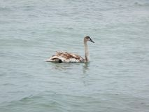 Swans in the Caspian Sea. The month of February. Kazakhstan royalty free stock photo