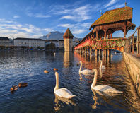 Swans at the Chapel Bridge in Lucerne, Switzerland Royalty Free Stock Photography