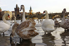 Swans on the Charles Bridge, Prague, Czech Republic Royalty Free Stock Image