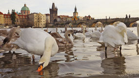 Swans on the Charles Bridge, Prague, Czech Republic Stock Photography