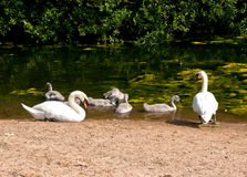 Swans with Chicks Stock Images