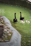 Swans and chicks Royalty Free Stock Image