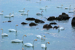 Swans in China. Each year in October, 3000 swans fly from Russia Siberia to China's Shandong Province, Rongcheng Bay, the second year in March, they will fly to Royalty Free Stock Photos