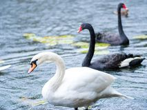 swans Cigni in bianco e nero insieme Due coppie gli uccelli immagine stock libera da diritti