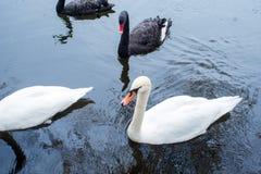 swans Cigni in bianco e nero insieme Due coppie gli uccelli immagini stock libere da diritti