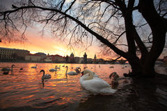 Swans in the city Royalty Free Stock Photography
