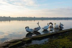 Swans clean themselves on a frozen lake in the middle of Winter in Hornsea Mere royalty free stock photos