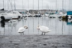 Swans are cleaning itself at the marina in Europe old town. Swans are cleaning itself at the marina in Geneva old town Royalty Free Stock Photo