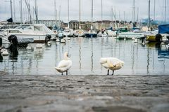 Swans are cleaning itself at the marina in Europe old town. Swans are cleaning itself at the marina in Geneva old town Stock Images