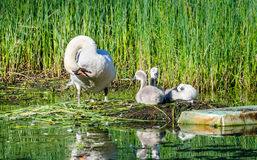 Swans cleaning time. A beautiful swan and her babies Stock Photos