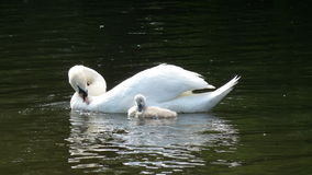 Young swan with its mother Royalty Free Stock Photography